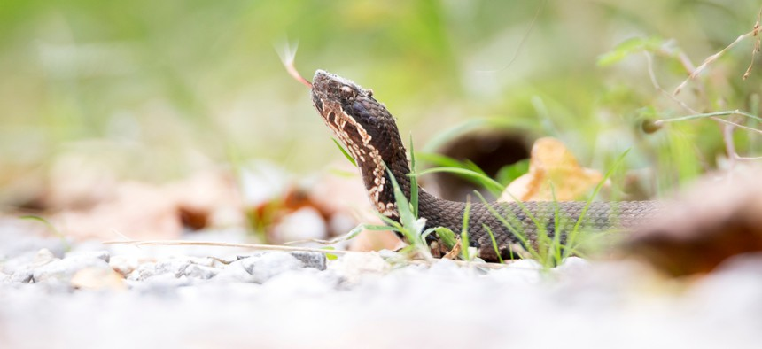 A cottonmouth snake in Wolf Lake, Illinois