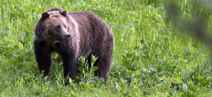 This July 6, 2011, file photo shows a grizzly bear roaming near Beaver Lake in Yellowstone National Park, Wyo.