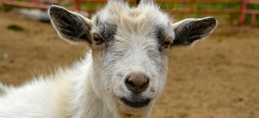Two hundred goats can clear about an acre per day, according to city officials.
