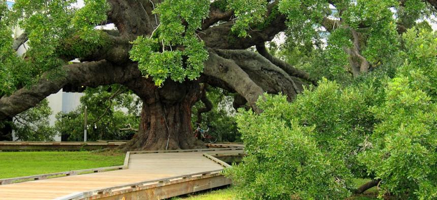 Live oak in Jacksonville, Florida park.