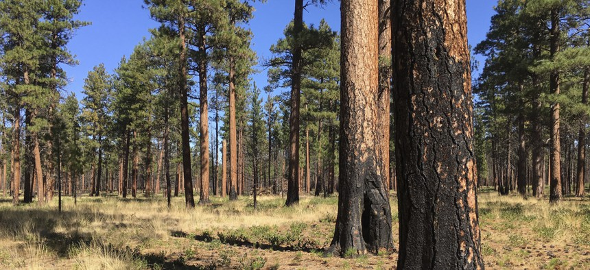 Charred trunks of Ponderosa pines near Sisters, Ore., months after a prescribed burn in 2017 removed vegetation, smaller trees and other fuel ladders.