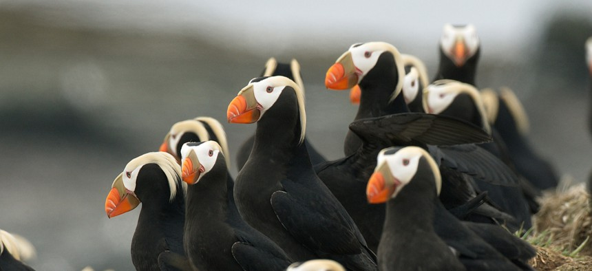 Puffins are a barometer for the health of the ocean around Alaska.