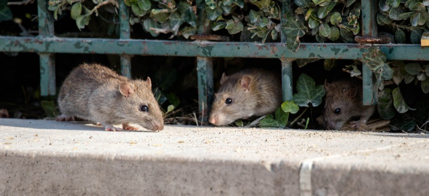 California cities are teeming with rats.