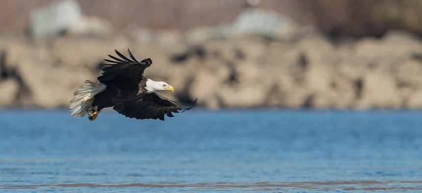 There are more than 300 nesting pairs of bald eagles in Pennsylvania today, according to state estimates.