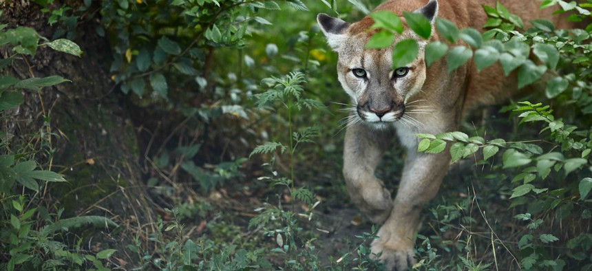 A file photo of a cougar, or mountain lion. The animals can grow to be between 100 and 200 pounds.