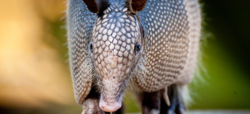 Originally confined to the south, the nine-banded armadillo has been spotted as far north as Wisconsin and as far east as North Carolina.