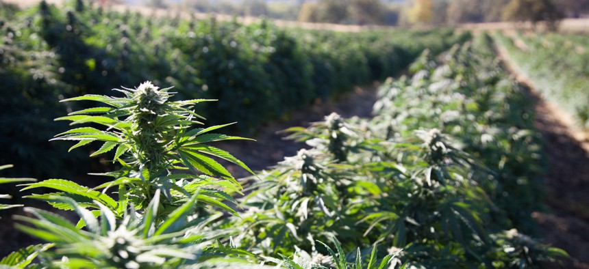 New federal regulations would make it harder for hemp growers to prove their plants are not marijuana.