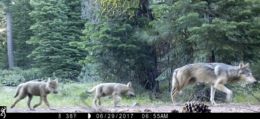 This June 29, 2017, remote camera image released by the U.S. Forest Service shows a female gray wolf and two of the three pups born that year in the wilds of Lassen National Forest in Northern California.