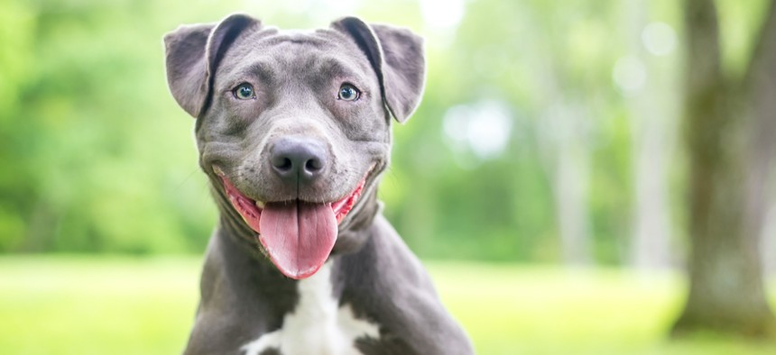 Proponents of the measure argued that Denver residents already own pit bulls, but the mayor pointed out that few pets are registered, so the new system might be ineffective.