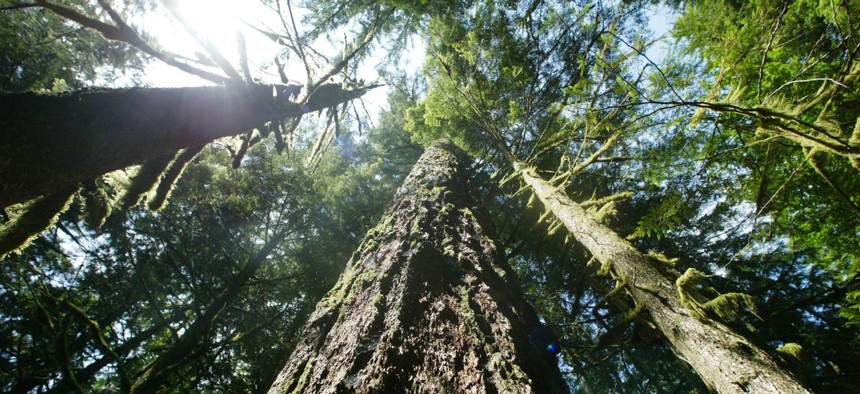 Trees rising from the Mt. Hood National Forest outside Zigzag, Ore.