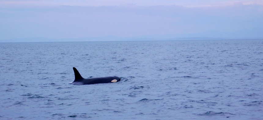 The orca is part of an endangered population of whales in the northeastern North American Pacific Ocean.