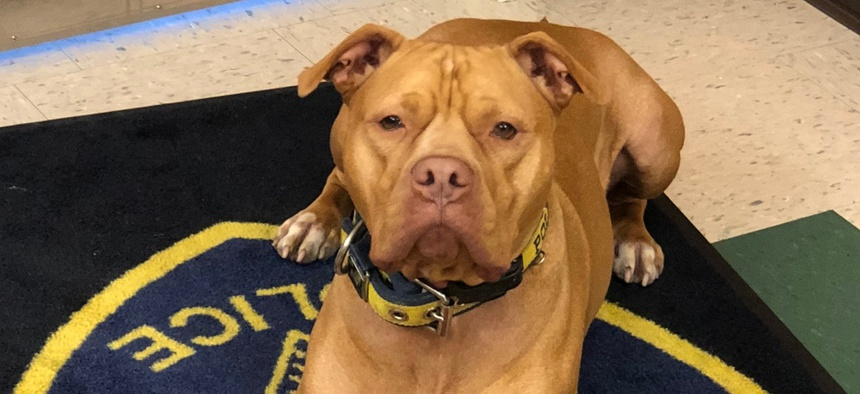 "Leonard, a rescued pit bull, ""doesn't have an off-switch,"" which makes him ideally suited for drug detection work."