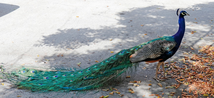 There are between 60 and 90 peacocks in the 190-home neighborhood, residents said.