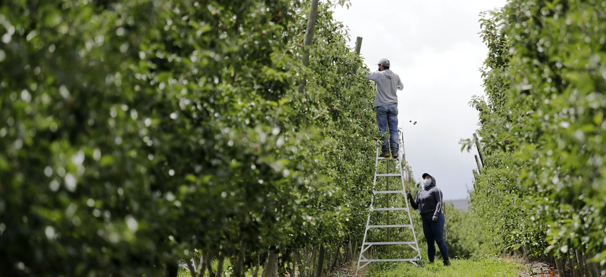 In this photo taken Tuesday, June 16, 2020, a supervisor looks up at a worker pulling honey crisp apples off trees during a thinning operation at an orchard in Yakima, Wash.