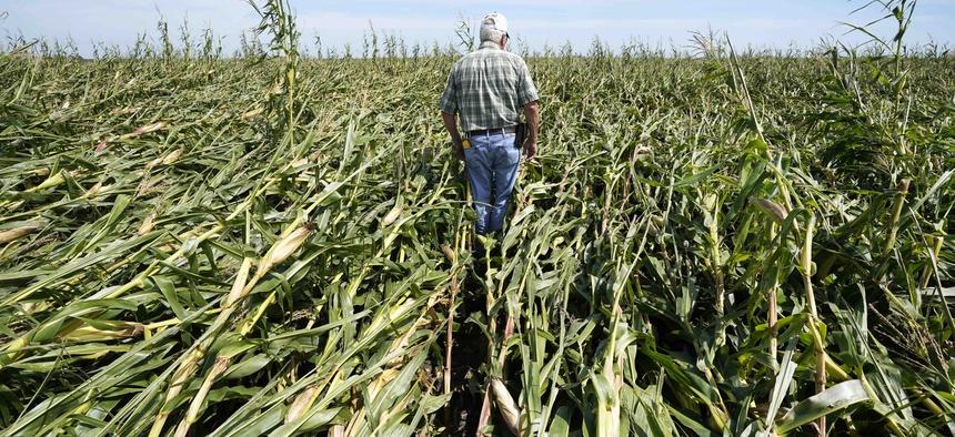 A farmer near Woodward, Iowa, on Aug. 20, walks through a cornfield damaged in the Aug. 10 derecho.