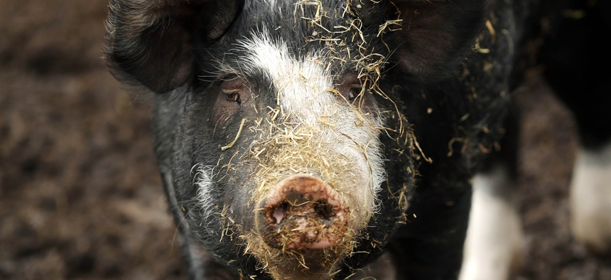 In this Oct. 30, 2018, photo, a hog stands in an outdoor pen on a farm in Clear Lake, Iowa.