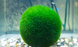 The moss balls have been pulled from shelves nationwide.